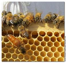 Fuga masiva de abejas ponen en jaque el equilibrio