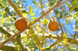 Chañar: maravilloso fruto del norte de Chile